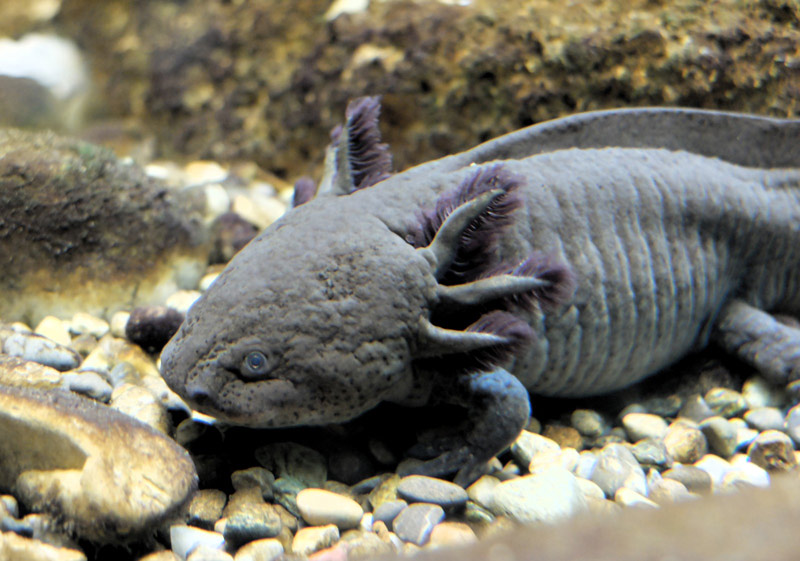 axolotl gross