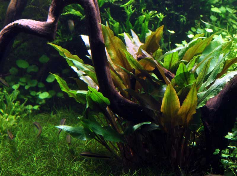 cryptocoryne-undulata-broad-leaves