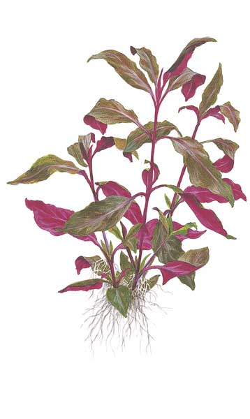 alternanthera-reineckii-purple